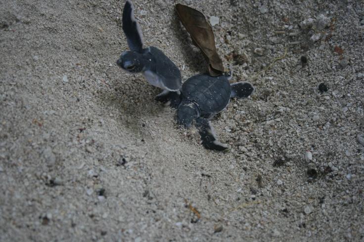 blackleather turtles