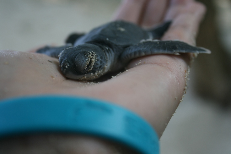 Black leather turtle sleeping in my hand