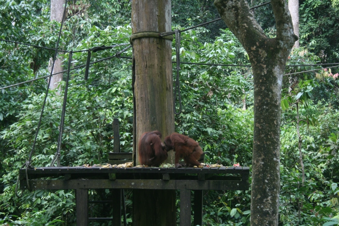 Orangutans at the sancturary