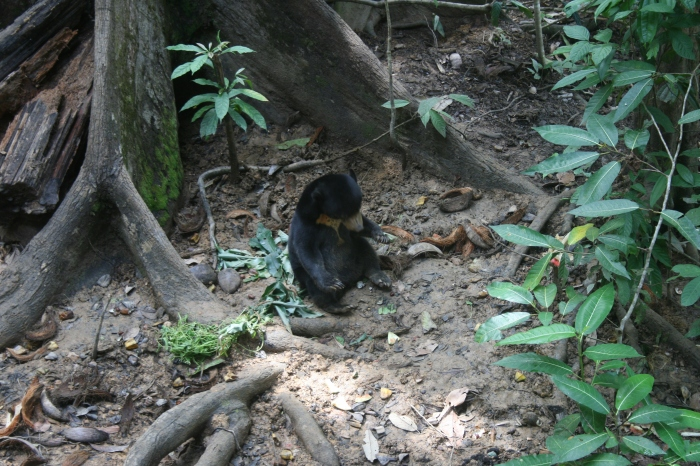 Sunbear in Sanctuary