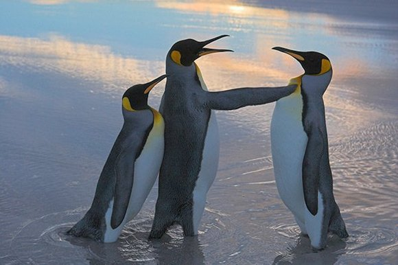 Falkland penguins, picture by www.thesundaytimes.co.uk