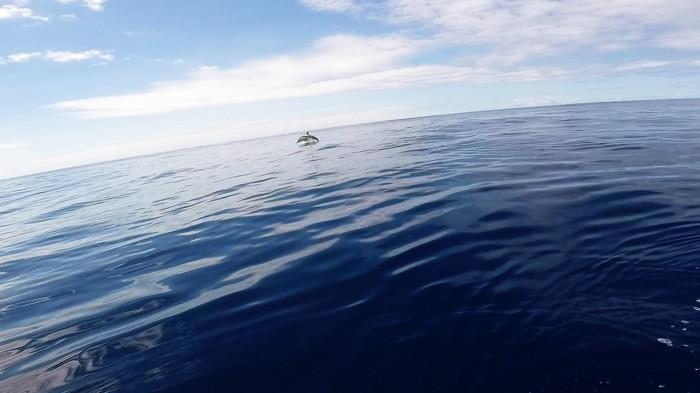 Common Dolphin porpoising