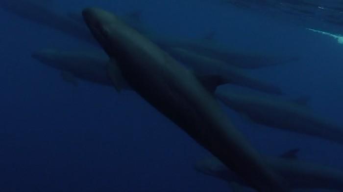 Close encounter with false killer whales