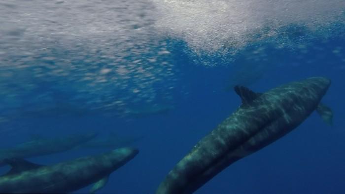 Close encounter with false killer whale
