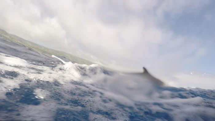 False Killer whale dorsal fin