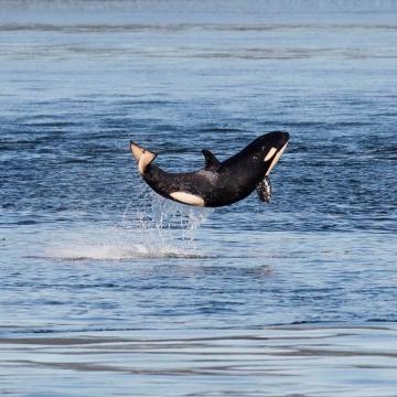 Happiest Baby Orca
