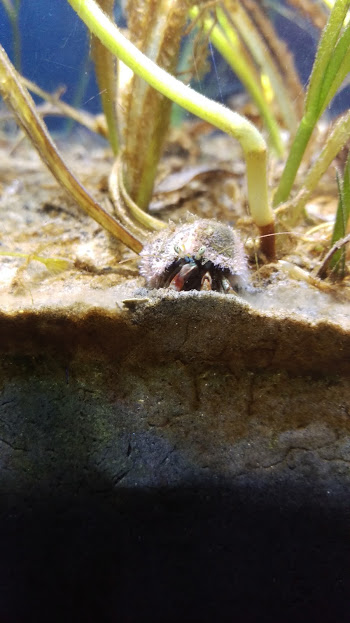 tiny little crab in an acquarium