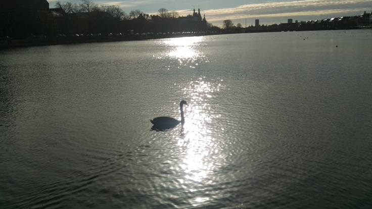 Swan enjoying sun and water in Copenhagen