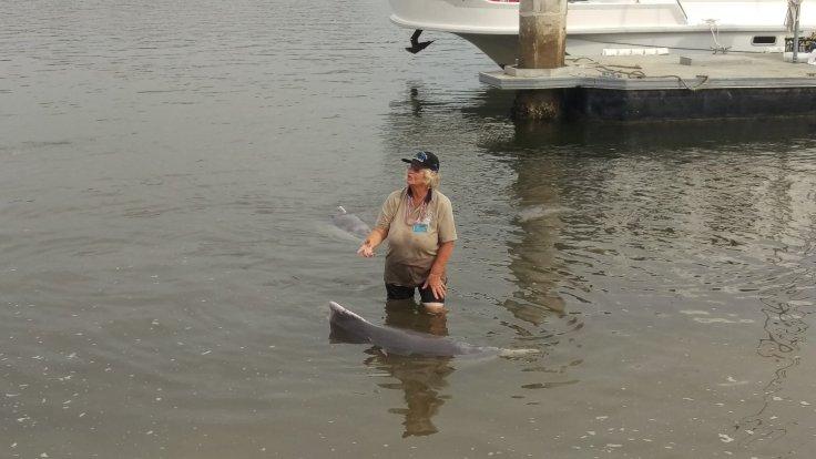 Wild estuary humpback dolphins